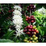 Coffee Arabian Seeds - Coffea Arabica Nana