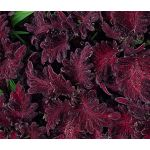 Coleus Black Dragon Seeds - Solenostemon Scutellarioides
