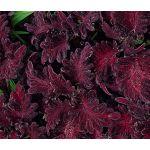 Coleus Black Dragon Seeds - Solenostemon Scutellarioides