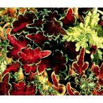 Coleus Carefree Mix Seeds - Solenostemon Scutellarioides