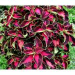 Coleus Chocolate Covered Cherry Seeds - Solenostemon Scutellarioides