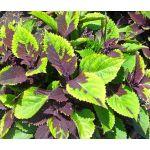 Coleus Chocolate Splash Seeds - Solenostemon Scutellarioides