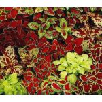 Coleus Fairway Mix Seeds - Solenostemon Scutellarioides