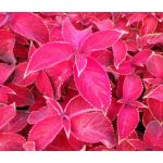 Coleus Jazz Ruby Seeds - Solenostemon Scutellarioides