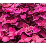 Coleus Jazz Velvet Seeds - Solenostemon Scutellarioides