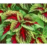 Coleus Kong Red Seeds - Solenostemon Scutellarioides