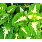 Coleus Versa Green Halo Seeds - Solenostemon Scutellarioides
