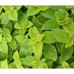 Coleus Versa Lime Seeds - Solenostemon Scutellarioides