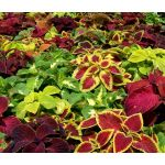 Coleus Wizard Mix Seeds - Solenostemon Scutellarioides
