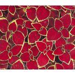 Coleus Wizard Scarlet Seeds - Solenostemon Scutellarioides