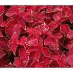 Coleus Wizard Velvet Red Seeds - Solenostemon Scutellarioides