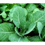 Collards Georgia Seeds - Brassica Oleracea
