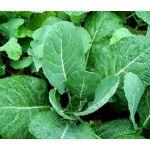 Collards Georgia Seeds - Brassica Oleracea