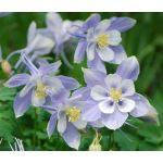 Columbine Blue Dream Seeds - Aquilegia Caerulea