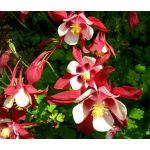 Columbine Crimson Star Seeds - Aquilegia Caerulea