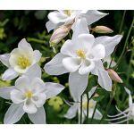 Columbine Crystal Star Seeds - Aquilegia Caerulea