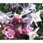 Columbine Dwarf Mix Seeds - Aquilegia Vulgaris