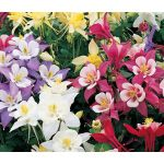 Columbine Mix Seeds - Aquilegia Caerulea