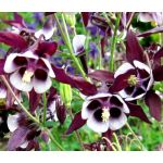 Columbine William Guinness Seeds - Aquilegia Vulgaris