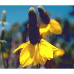 Coneflower Clasping Seeds - Rudbeckia Amplexicaulis