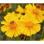Coreopsis Lanceleaf Tall Seeds - Coreopsis Lanceolata