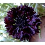 Cornflower Black Ball Seeds - Centaurea Cyanus