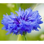 Cornflower Blue Tall Seeds - Centaurea Cyanus