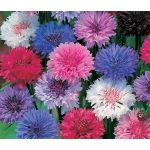 Cornflower Polka Dot Mix Dwarf Seeds - Centaurea Cyanus