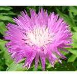 Cornflower Persian Seeds - Centaurea Dealbata