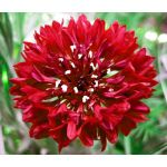 Cornflower Red Tall Seeds - Centaurea Cyanus