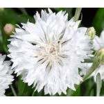 Cornflower White Tall Seeds - Centaurea Cyanus