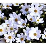 Cosmos Purity Seeds - Cosmos Bipinnatus