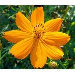 Cosmos Sulphur Ladybird Gold Dwarf Seeds - Cosmos Sulphureus