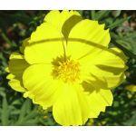Cosmos Sulphur Ladybird Yellow Dwarf Seeds - Cosmos Sulphureus