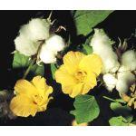 Cotton Levant Seeds - Gossypium Herbaceum