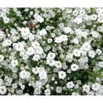 Creeping Baby's Breath Seeds - Gypsophila Repens