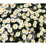 Creeping Daisy Seeds - Chrysanthemum Paludosum