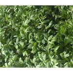 Cress Curled Peppergrass Seeds - Lepidium Sativum
