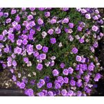 Cup Flower Purple Robe Seeds - Nierembergia Hippomanica