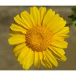 Daisy Garland Seeds - Chrysanthemum Coronarium