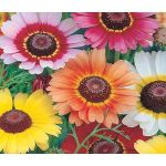 Daisy Painted Rainbow Mix Seeds - Chrysanthemum Carinatum