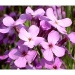 Dame's Rocket Seeds - Hesperis Matronalis