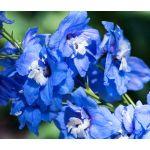 Delphinium Blue Bird Seeds - Delphinium Cultorum