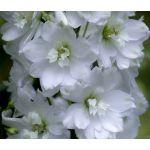Delphinium Galahad Seeds - Delphinium Cultorum