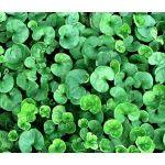 Dichondra Bulk Seeds - Dichondra Repens