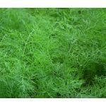 Dill Bouquet Seeds - Anethum Graveolens
