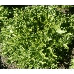 Endive Salad King Seeds - Cichorium Endivia
