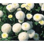 English Daisy White Seeds - Bellis Perennis Super Enorma