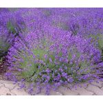 English Lavender Seeds - Lavandula Angustifolia