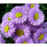 Erigeron Azure Fairy Seeds - Erigeron Speciosus